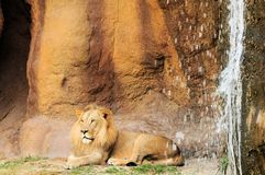 Lion lying down next to waterfall Royalty Free Stock Images