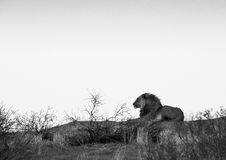 Lion lying on the dunes. A large male lion lying on the dunes, in black and white / monochrome royalty free stock photography