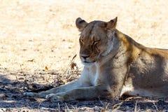 Lion Lying femminile in erba in ombra dell'albero Fotografia Stock
