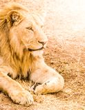 Lion lying in front of the car as a guard Stock Photos