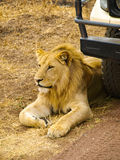 Lion lying in front of the car as a guard Royalty Free Stock Image