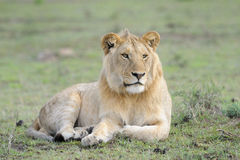 Lion lying in grass. Young male Lion lying in grass Royalty Free Stock Photos