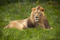 Lion lying in grass Royalty Free Stock Photo