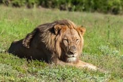 Lion lying in the grass Stock Images