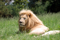 Lion lying on grass Stock Photo