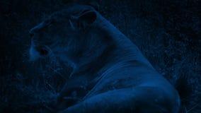 Lion Lying In The Grass bij Nacht stock footage