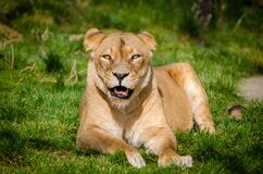 Lion Lying on Grass during Daytime royalty free stock images