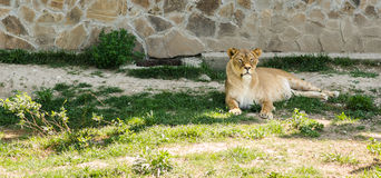 Lion lying on the grass. Royalty Free Stock Photos