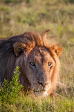 Lion lying in the grass Royalty Free Stock Images