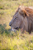 Lion lying in the grass Stock Photography