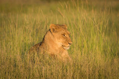 Lion lying in grass staring towards sunset Stock Image