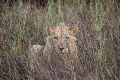 Lion lying in grass Stock Photography