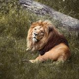 Lion lying on grass Stock Images