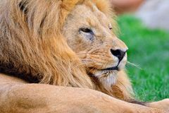 Lion lying on green grass Royalty Free Stock Image