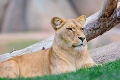 Lion lying on green grass Royalty Free Stock Photos