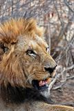 Lion Lying on Ground Stock Image