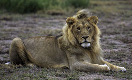 Lion lying looking at the camera Stock Image
