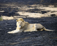 Lion lying in the Ngorongoro Crater in an area of control burn Stock Image