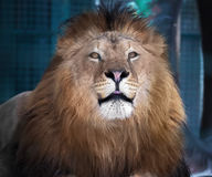 Lion lying proud king of animals stock photography