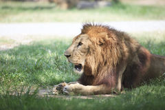 Lion lying and relaxing on green field Royalty Free Stock Photos