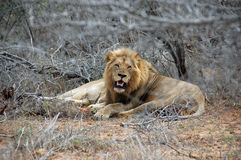 Lion lying and resting on savannah grass between dry bushes. At Kruger Nationalpark Stock Photography