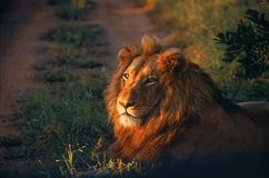 Lion lying in the road Royalty Free Stock Images