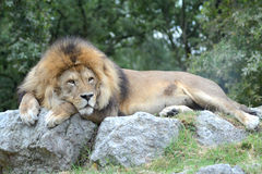 Lion. Lying on a rock Royalty Free Stock Photos