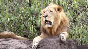 Lion lying on a rock stock video footage
