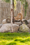 Lion lying on the rocks in wild life park Royalty Free Stock Images