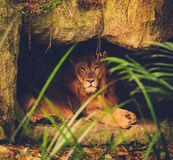 Lion lying on rocky top Royalty Free Stock Image