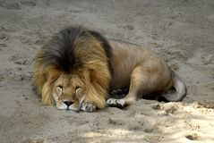 Lion lying on the sand Stock Photography