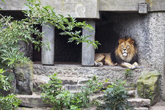 Lion lying in the shade. Big, beautiful, a lion resting in the shade of the walls Royalty Free Stock Image