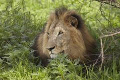 Lion lying in shade of tree Stock Images