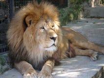 Lion lying on the sidewalk. Enclosure Yalta Zoo Stock Photos