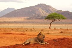 Lion lying in Tsavo National Park Africa best photo Royalty Free Stock Photo