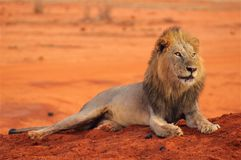Lion lying in Tsavo National Park Africa stock photography
