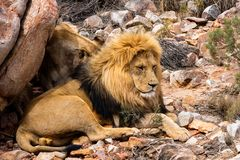 A Lion lying under a rock royalty free stock image