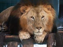Lion lying wisdom portrait. The Lion lying wisdom portrait royalty free stock photography