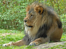 Lion mâle Images stock
