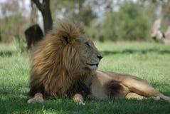 Lion mâle Photo libre de droits