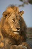 Lion mâle Photos libres de droits