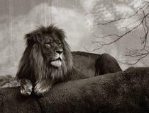 Lion mâle Images libres de droits