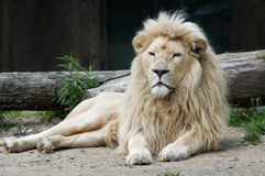 Lion mâle Photo stock
