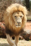 Lion mâle Photo stock