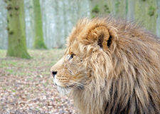 Lion mâle Image stock