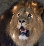 Lion mâle Photo libre de droits