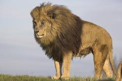 Lion mâle Image stock