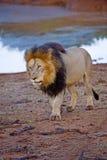 Lion mâle africain Image libre de droits