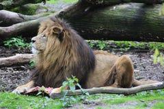 Lion mâle africain photos stock