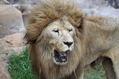 Lion mâle asiatique Image libre de droits